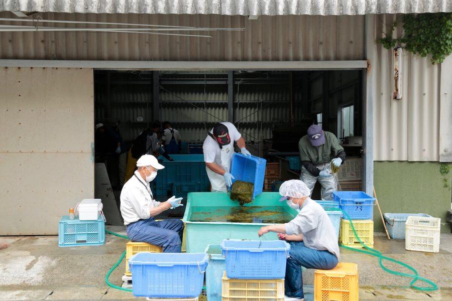 アカモク収穫の撮影